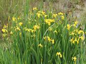 Kosatec žltý / Iris pseudacorus