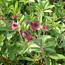 Nátržnica močiarna /Potentilla Palustris