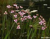 Okrasa okolíkata /Butomus umbellatus
