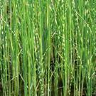 Škripina jazerná /Scripus albescens